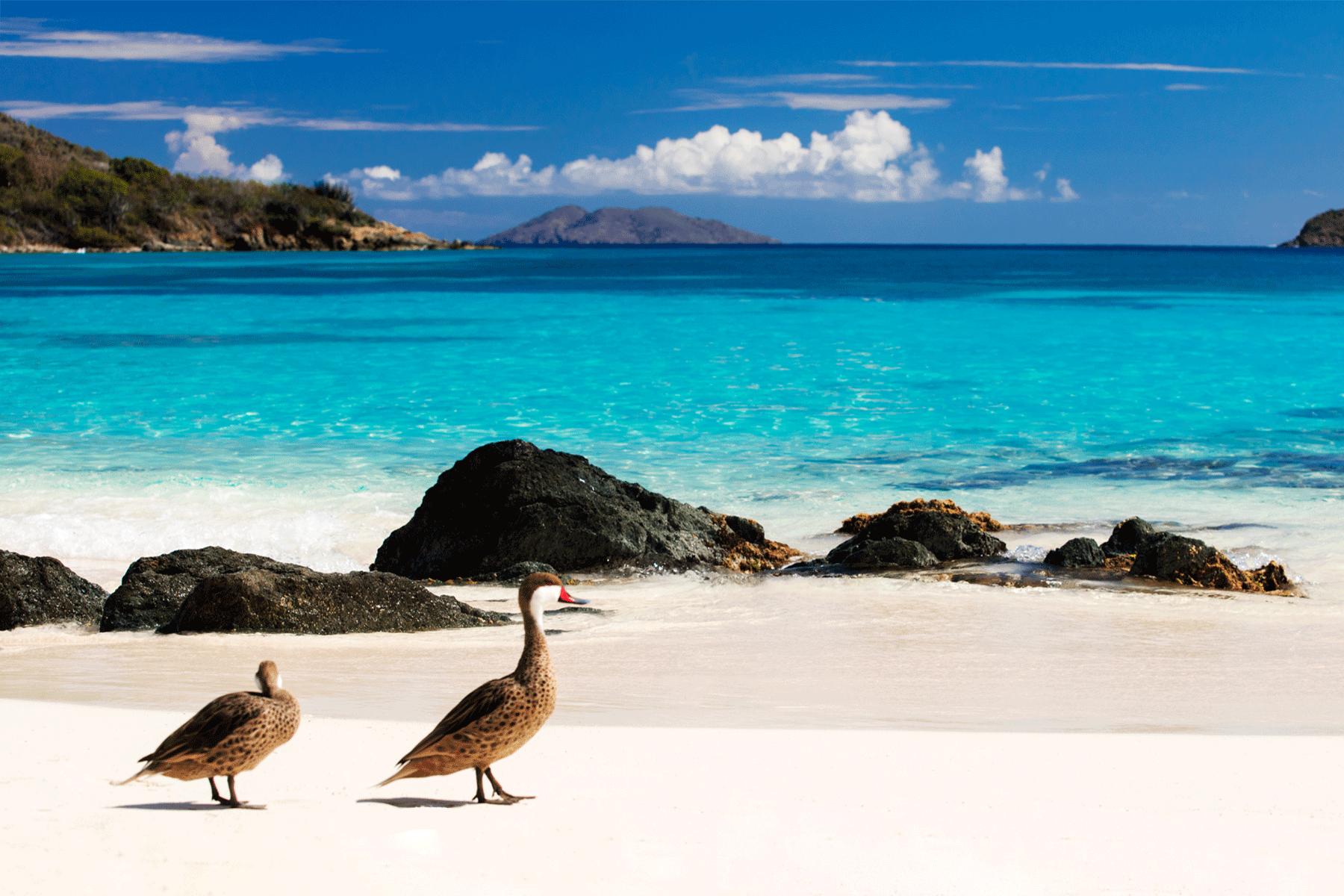 water-fowl-USVI-beach-caribbean